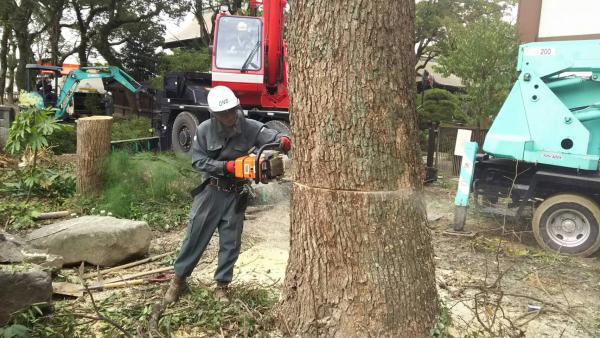 2016/11/30 戸畑区飛幡神社の大木伐採です