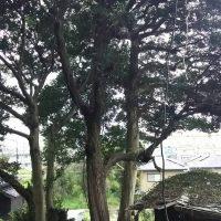2016/12/29 八幡西区本城で、大木伐採です。!