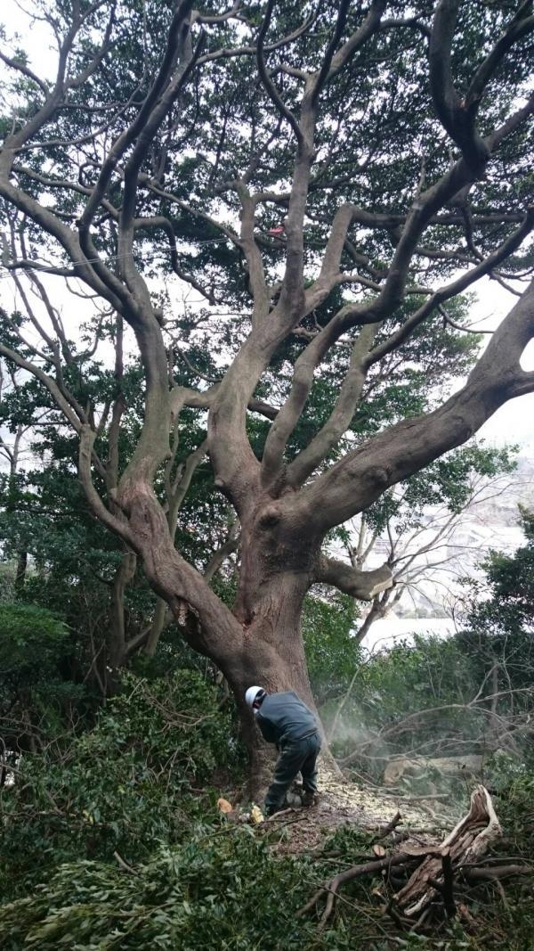 2017/2/10 門司区の公園で大木伐採です。 無事倒れました。